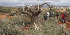 مستوطنون يقطعون عشرات أشجار الزيتون في عرابة